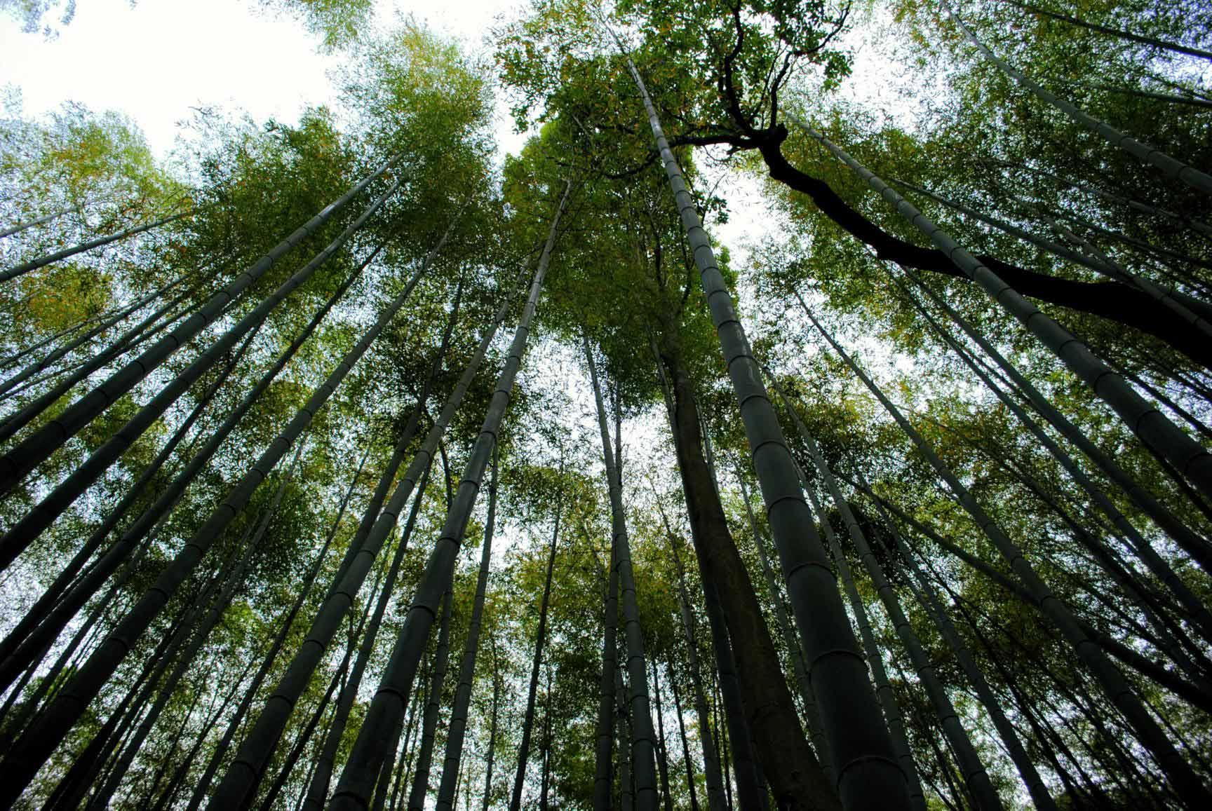 bosque-bambu-arashiyama-10