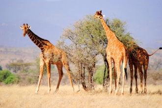 Jirafa reticulada. Reserva Nacional de Samburu. Kenya 2015.