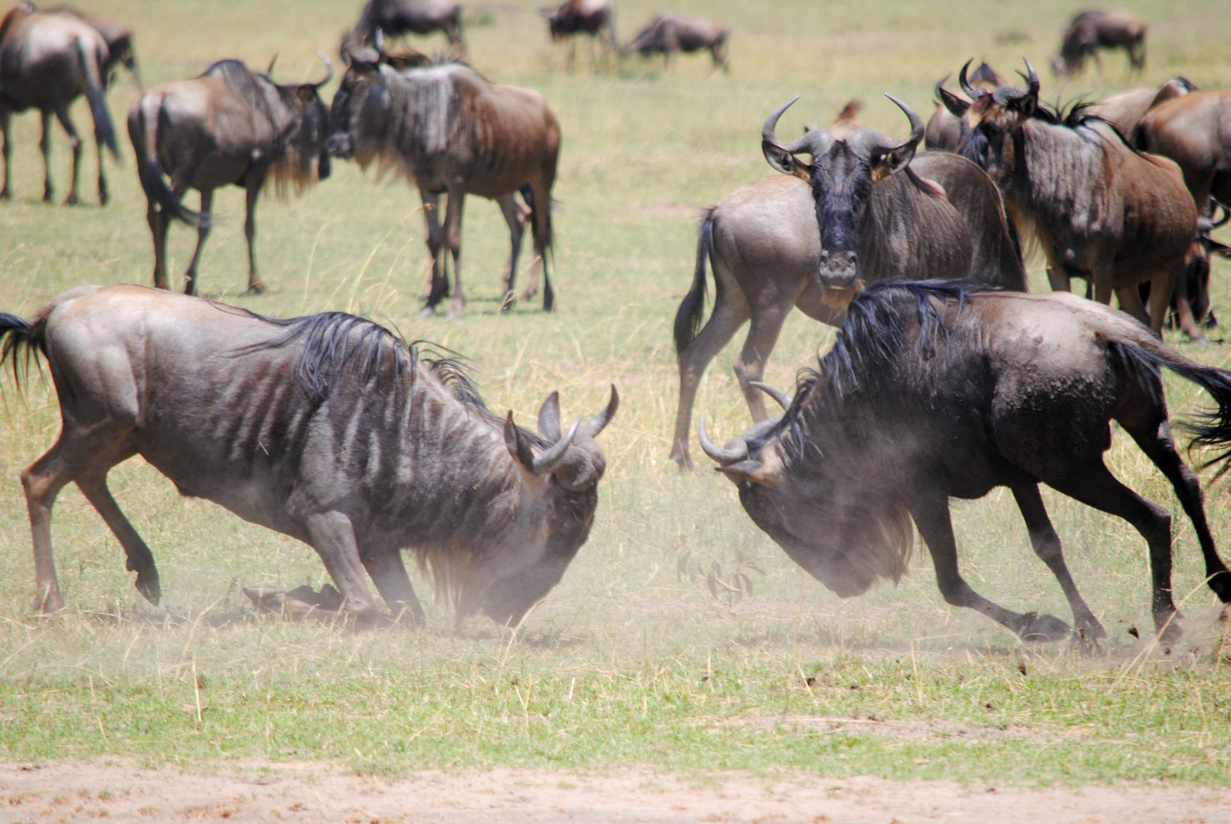 ñu-masai-mara