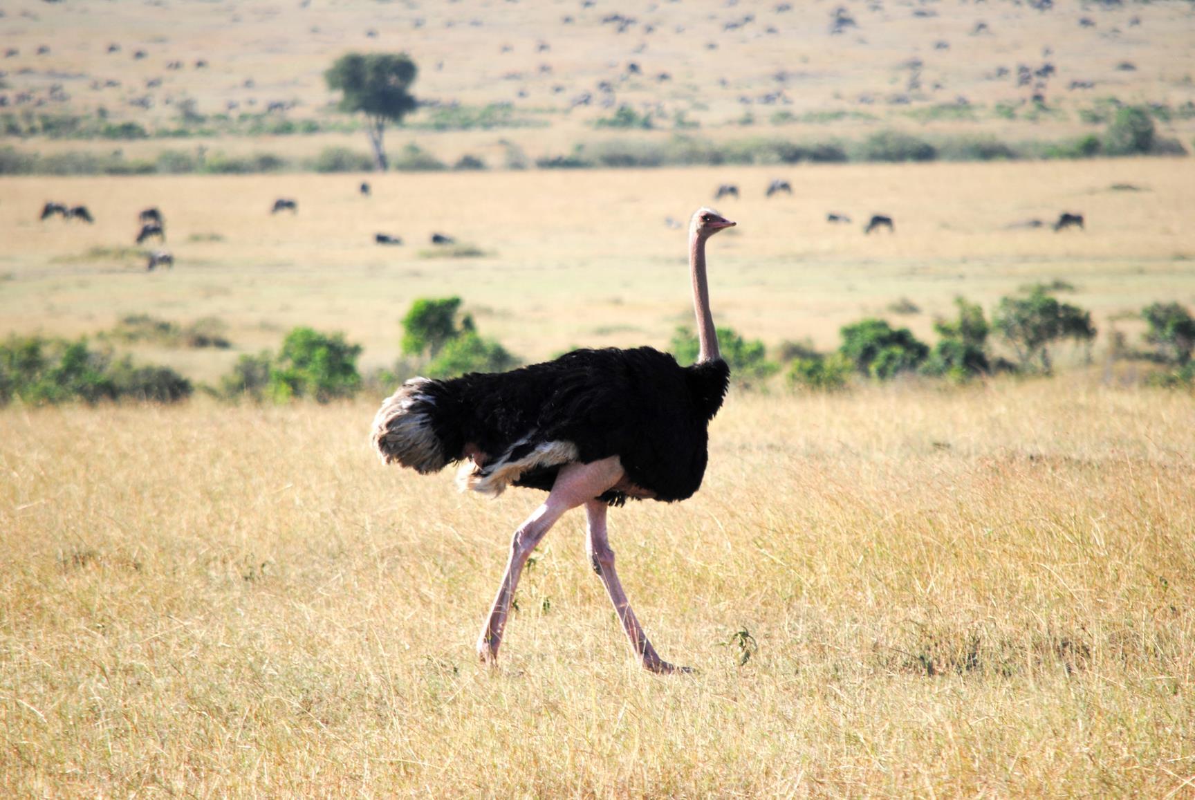 avestruz-masai-mara