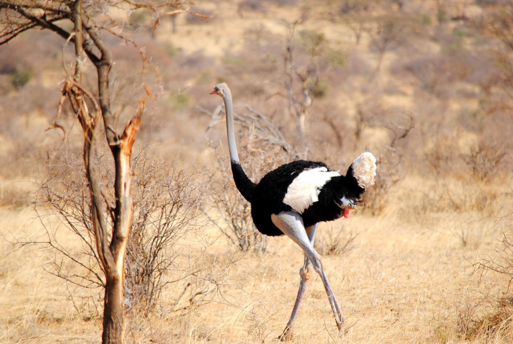avestruz-samburu-kenya-1
