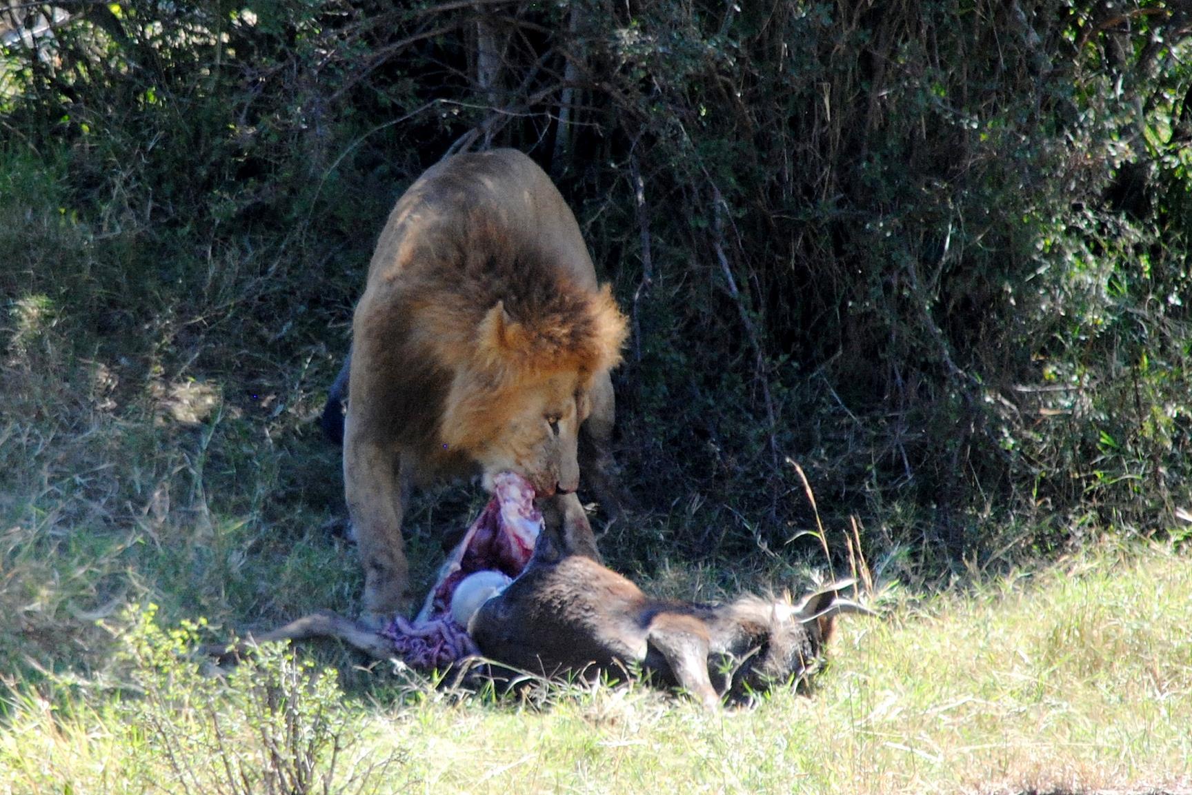 caza-leon-ñu-masai-mara
