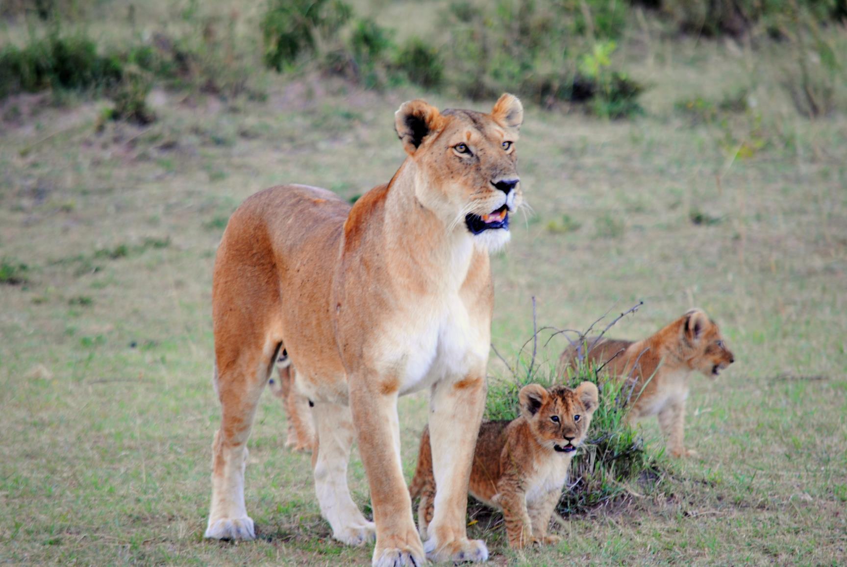 crias-leones-masai-mara