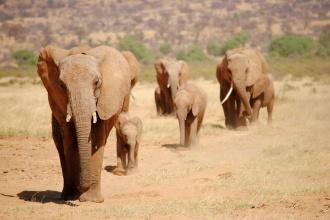 Manada de elefantes en su camino al río Ewaso. Samburu, Kenya, 2015.