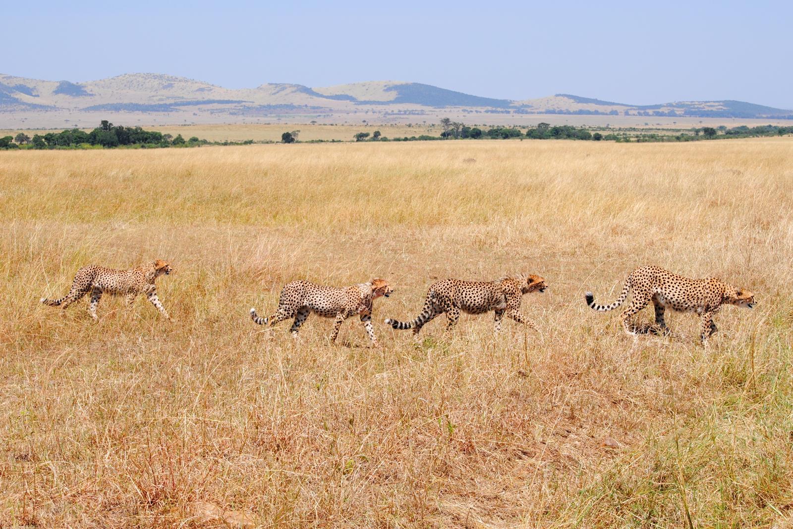 guepardo-masai-mara
