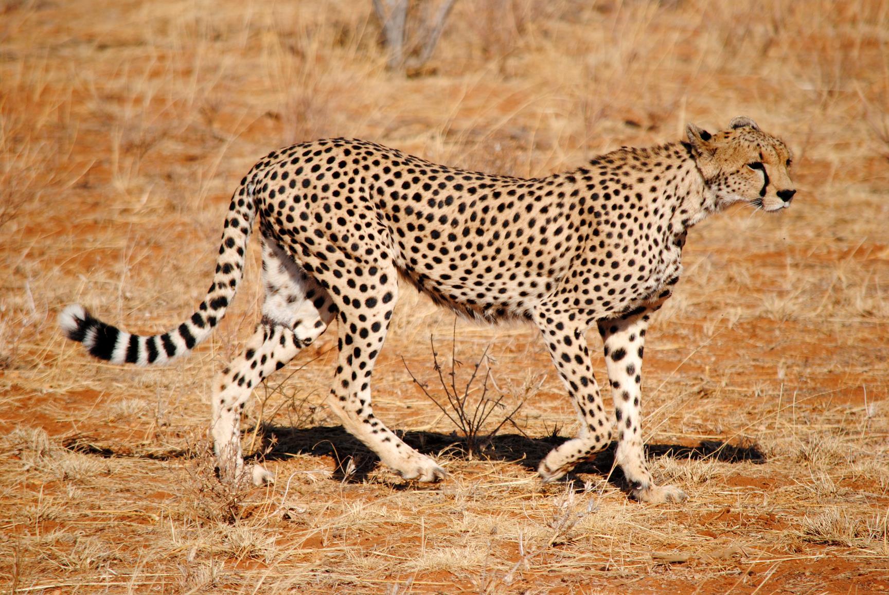 guepardo-samburu-kenya-1