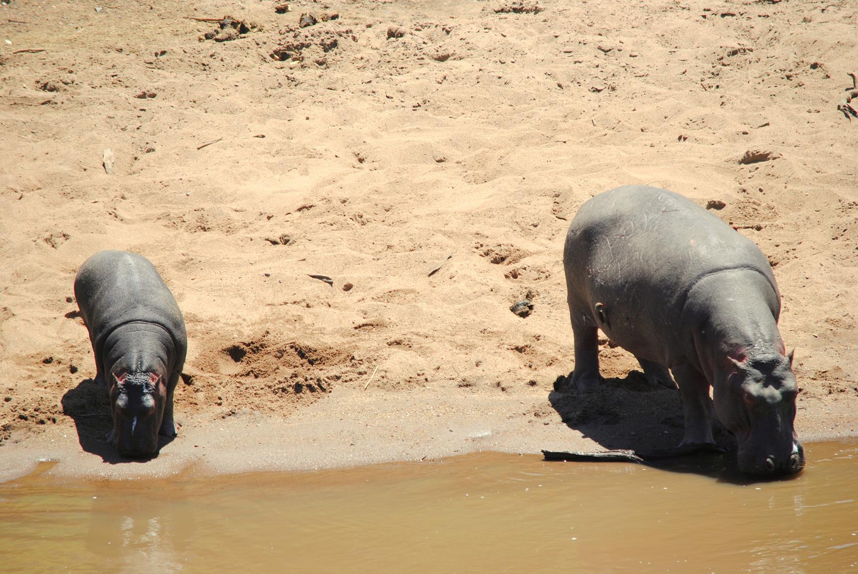 hipopotamos-masai-mara