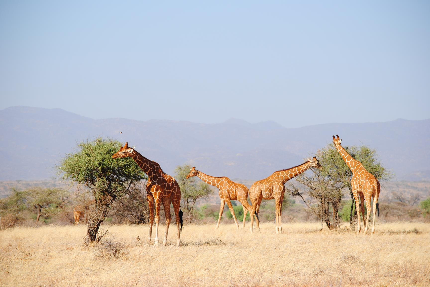 jirafa-samburu-kenya-1