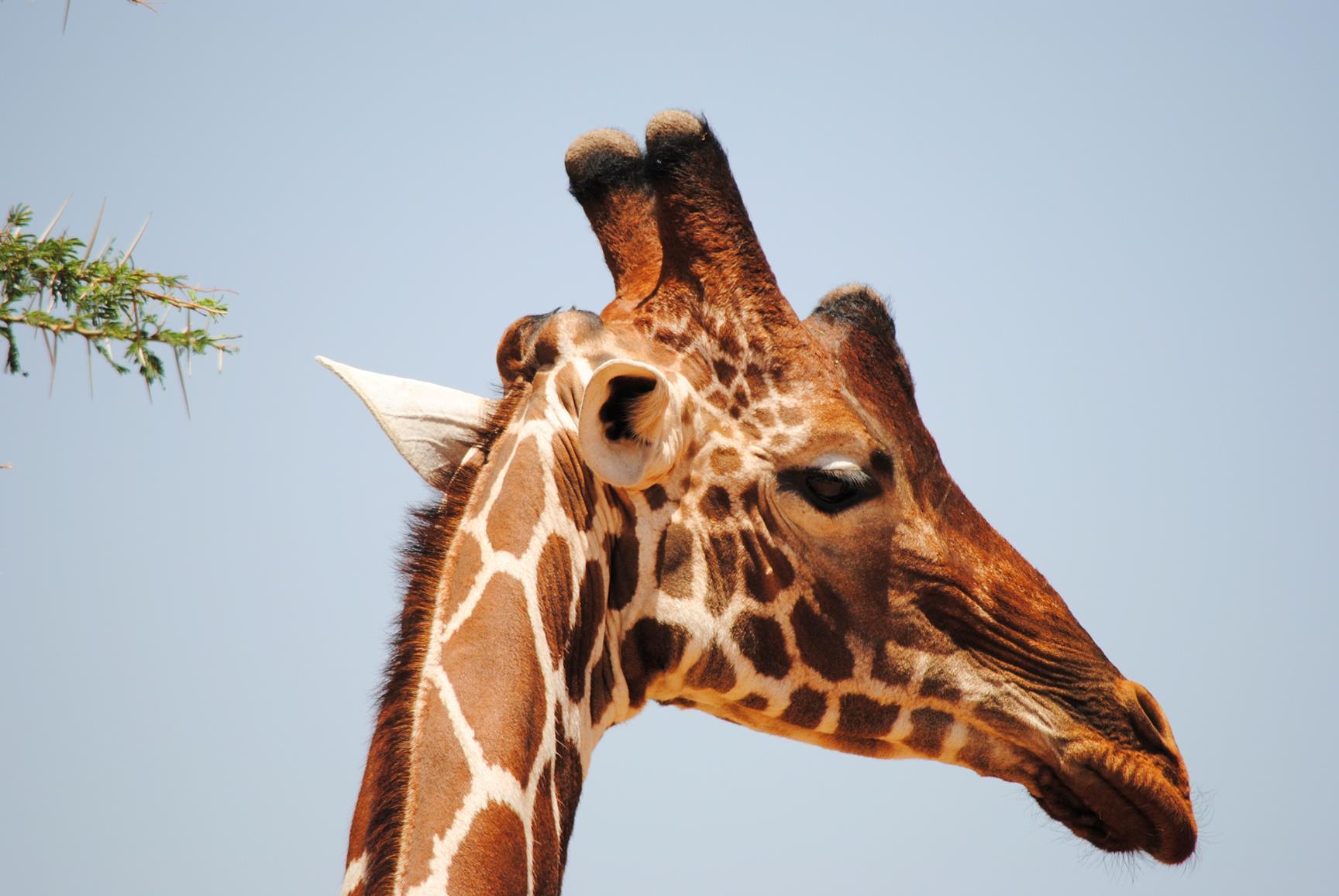 jirafa-samburu-kenya