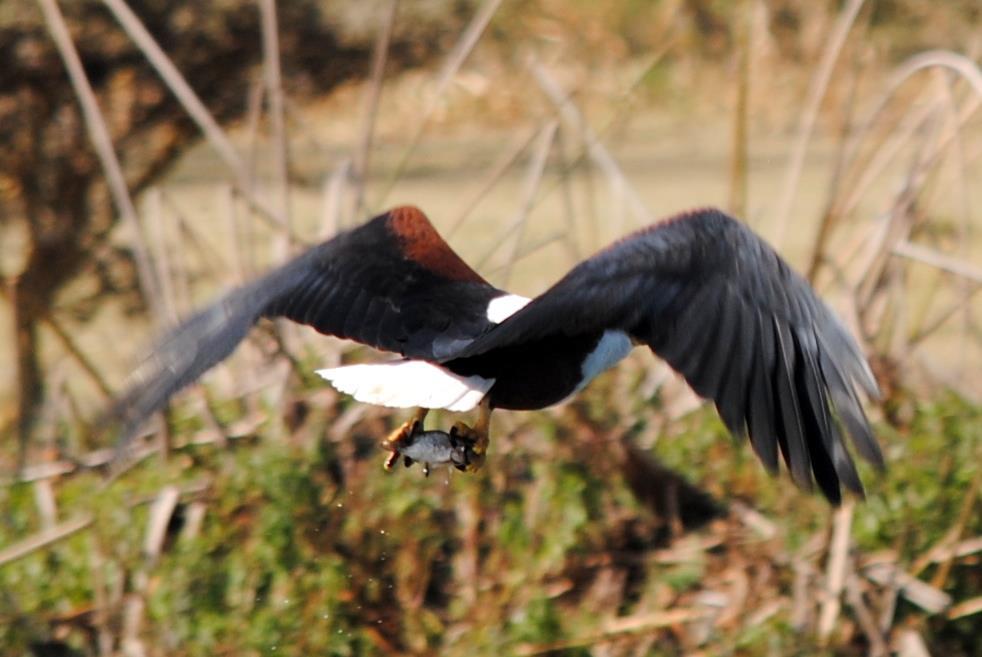 lago-naivasha-aves