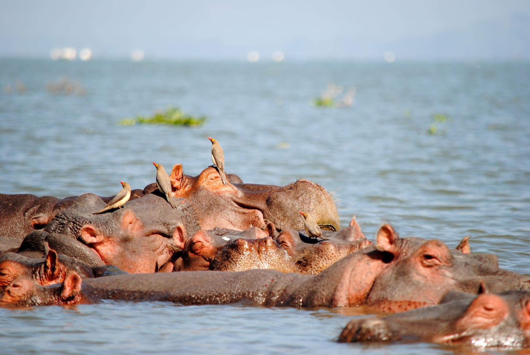lago-naivasha-hipopotamo
