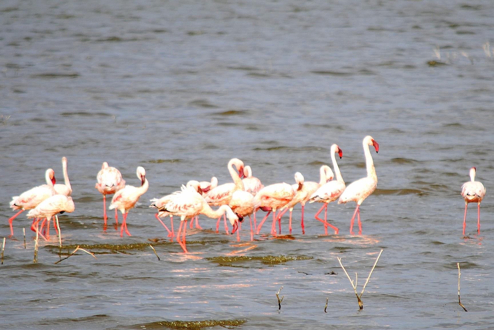 lago-nakuru-flamencos