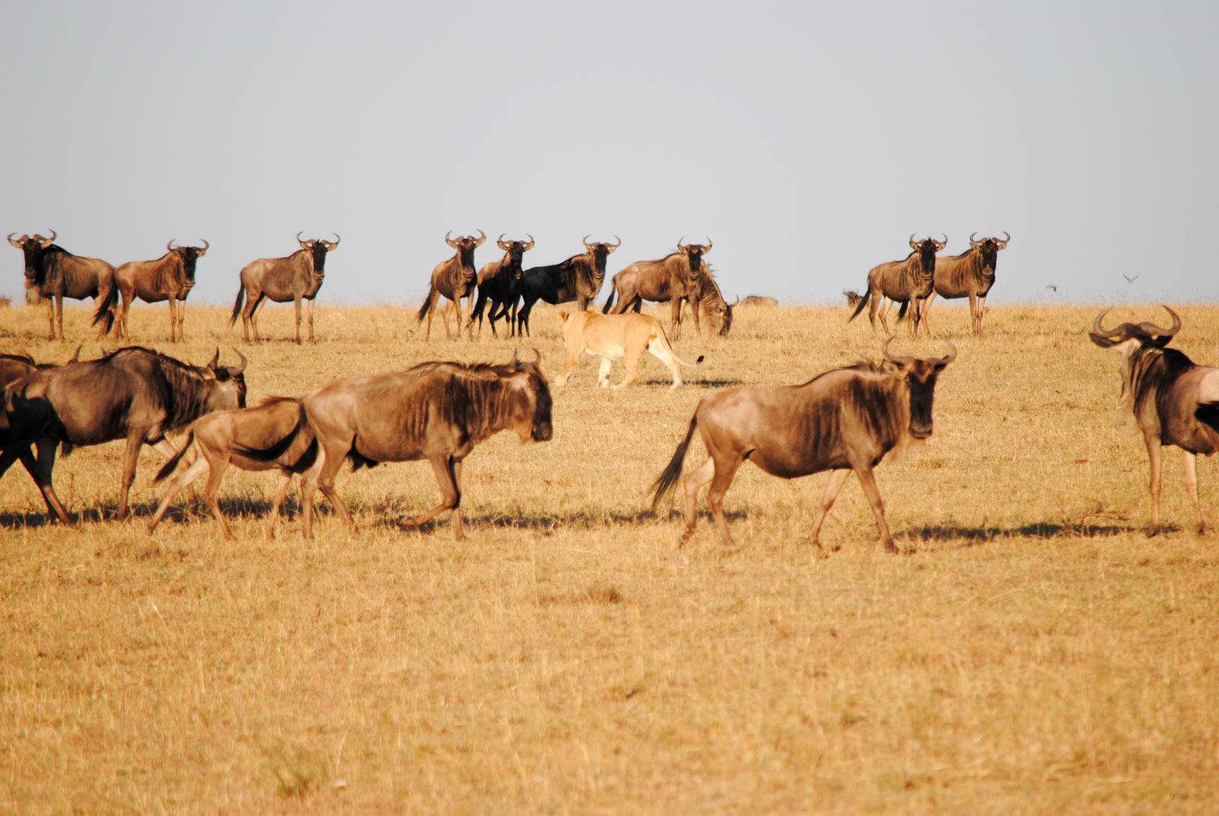 leon-cazando-masai-mara