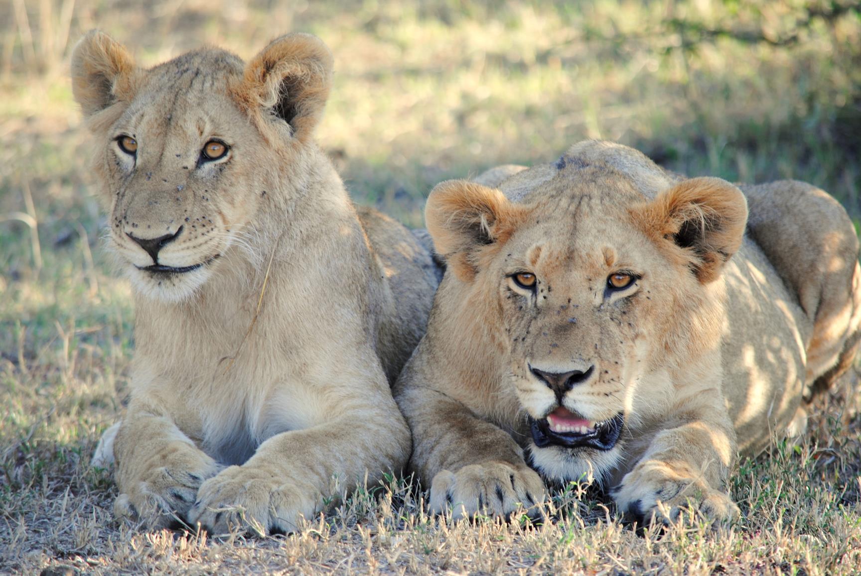 leones-masai-mara