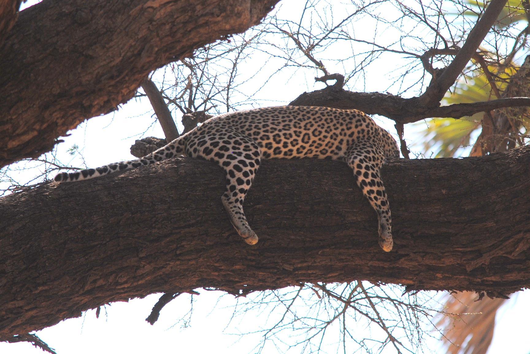 leopardo-samburu-kenya-1