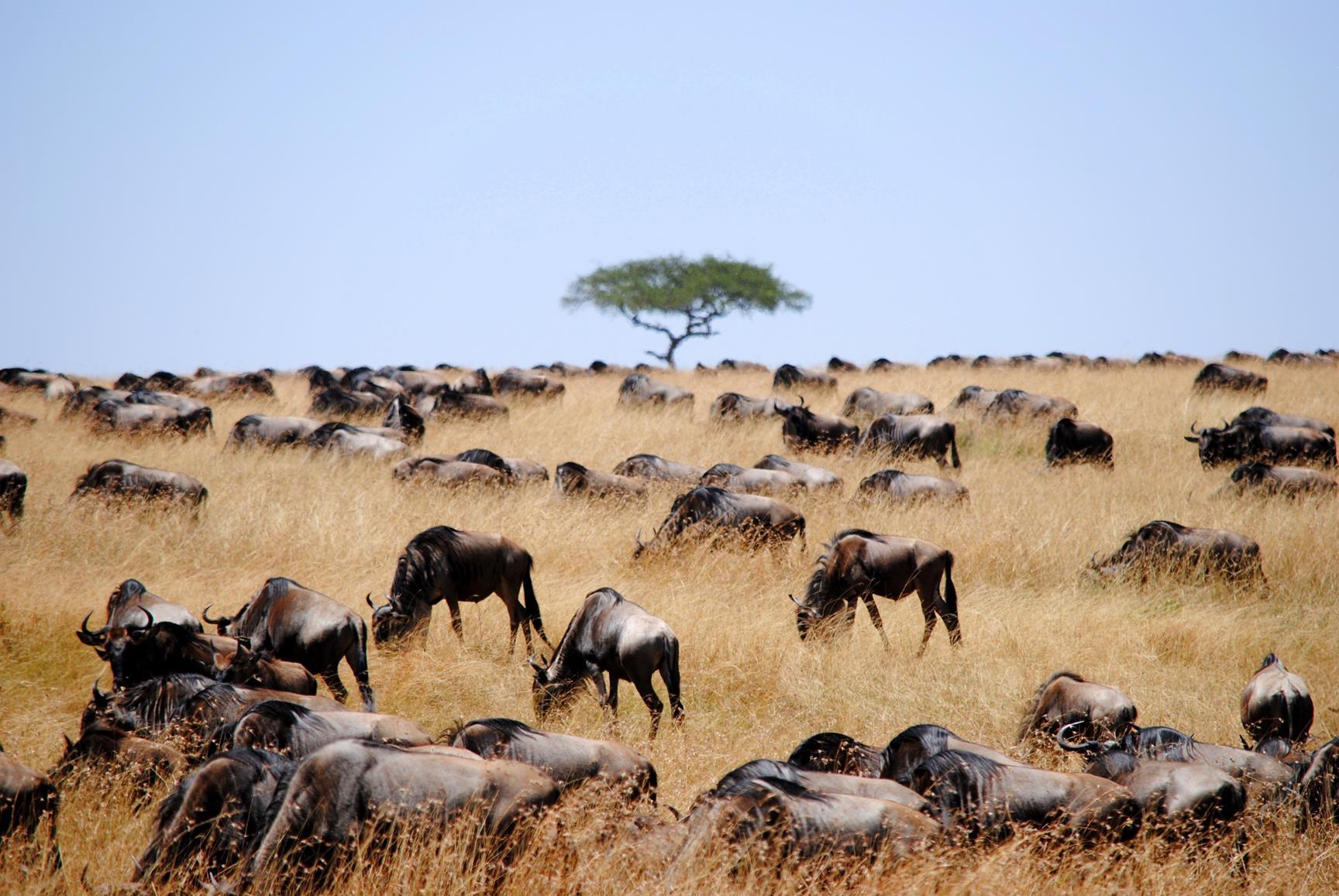 migración-ñus-masai-mara-1a