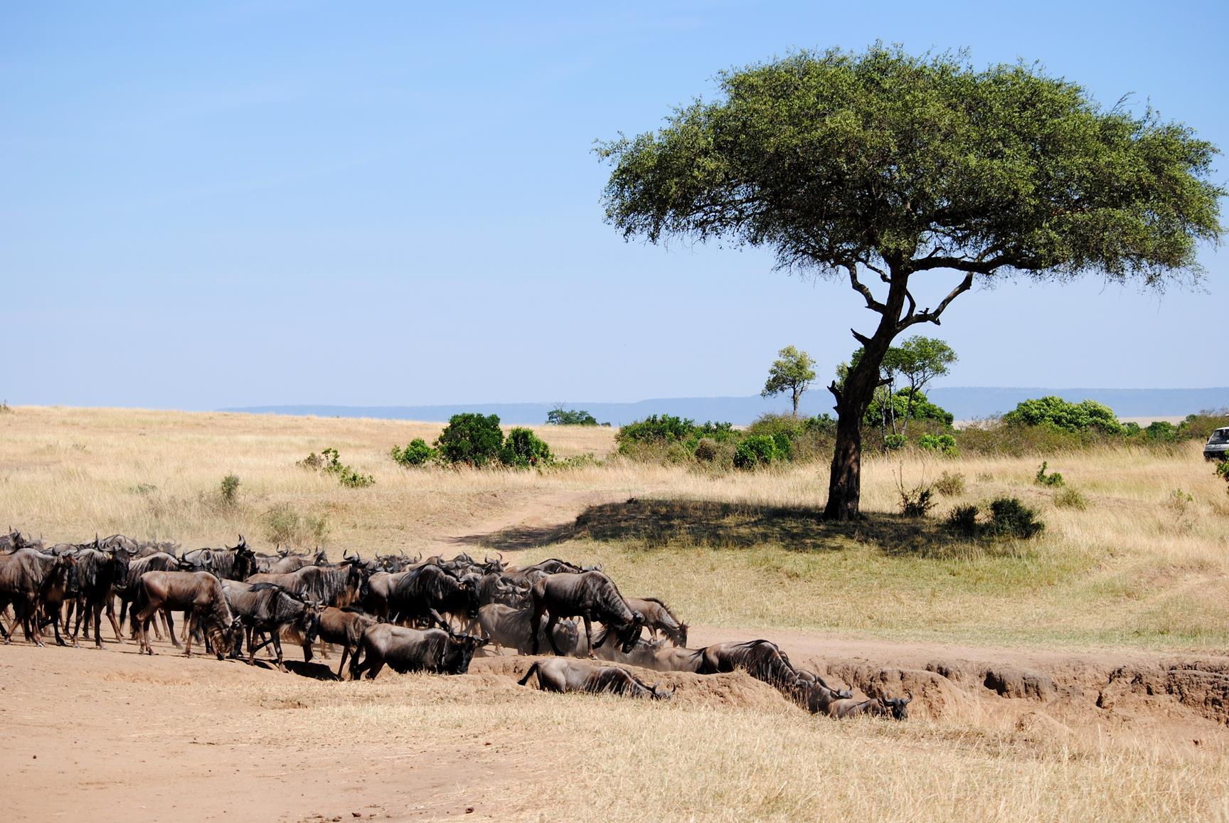 migración-ñus-masai-mara