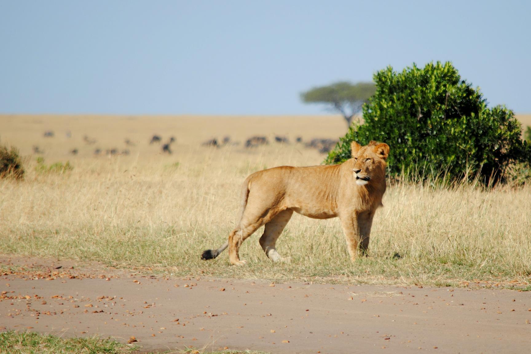pareja-leones-masai-mara