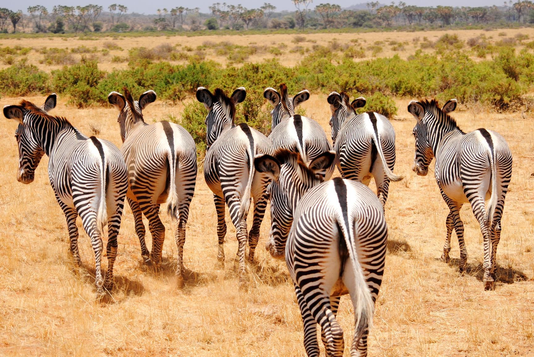zebra-samburu-kenya